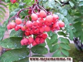 Полезные свойства плодов рябины